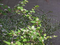 20050418raspberry