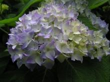 20070530_ajisai