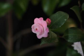 20090228_tsubaki_5