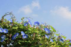 20091018_heavenly_blue82w950
