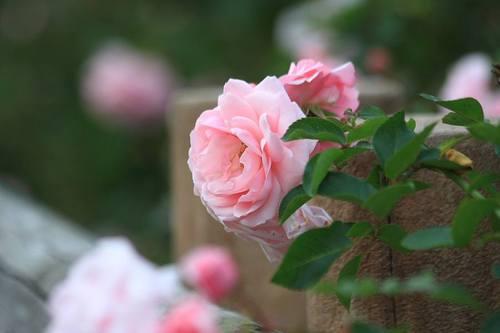 20091110_rose_1