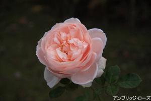 20091128_ambridgerose