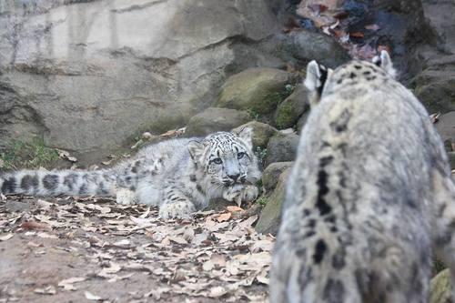 20091228_snowleopard_2
