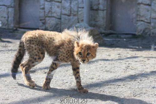 20100129_cheetah_w750