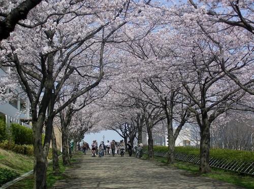 20100406_sakura