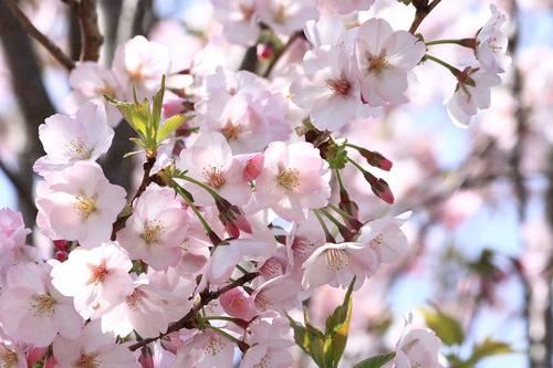 20100413_sakura