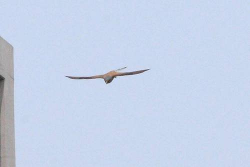 20100504_commonkestrel_w900_1
