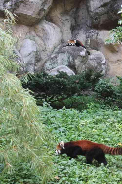 20100902_red_panda_1