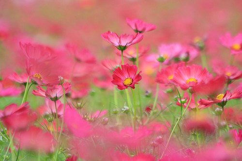 20101017_showa_cosmos_campus