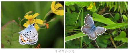 201407_miyamasijimi1055