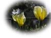 Tulipbokashiy
