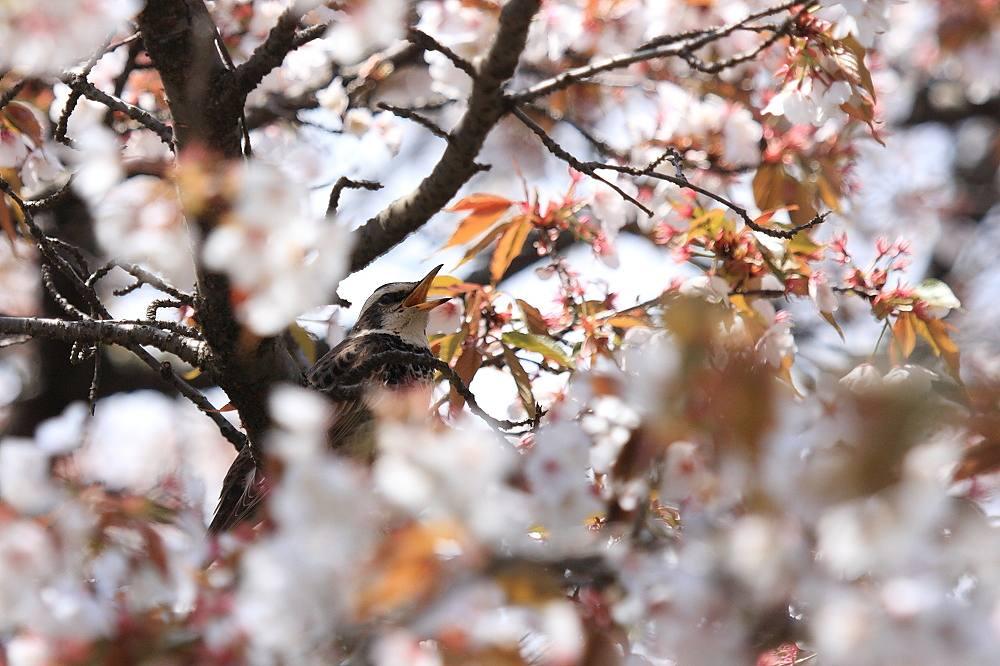 ツグミ 山桜で大あくび(^o^)丿201104