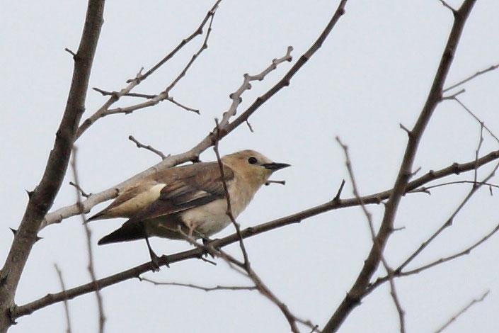 コムクドリ(雌) 2011.05