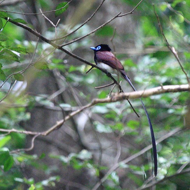 サンコウチョウ(三光鳥) 201107