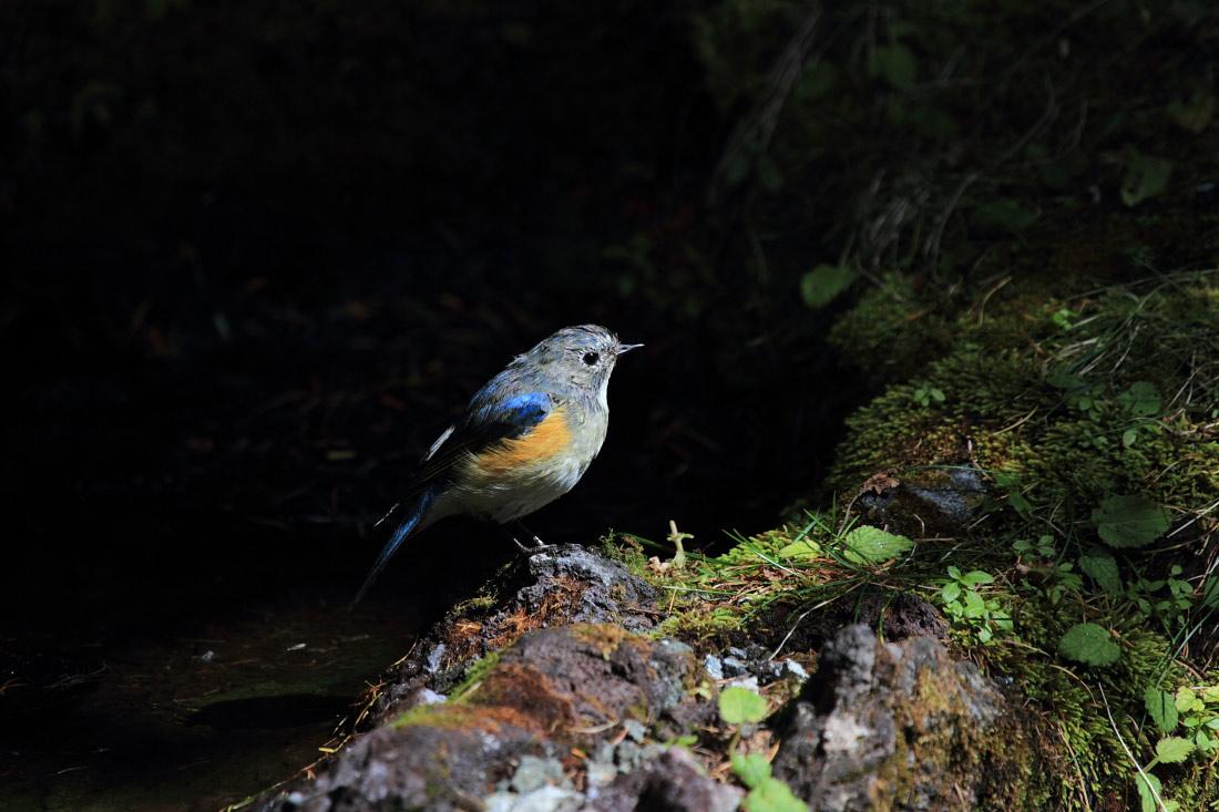 ルリビタキの幼鳥たち 2011.10