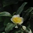 お茶の花 ツバキ科