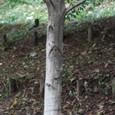 ヤマハンノキ 樹皮