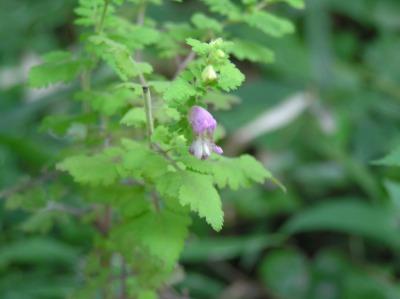 コシオガマ 2007