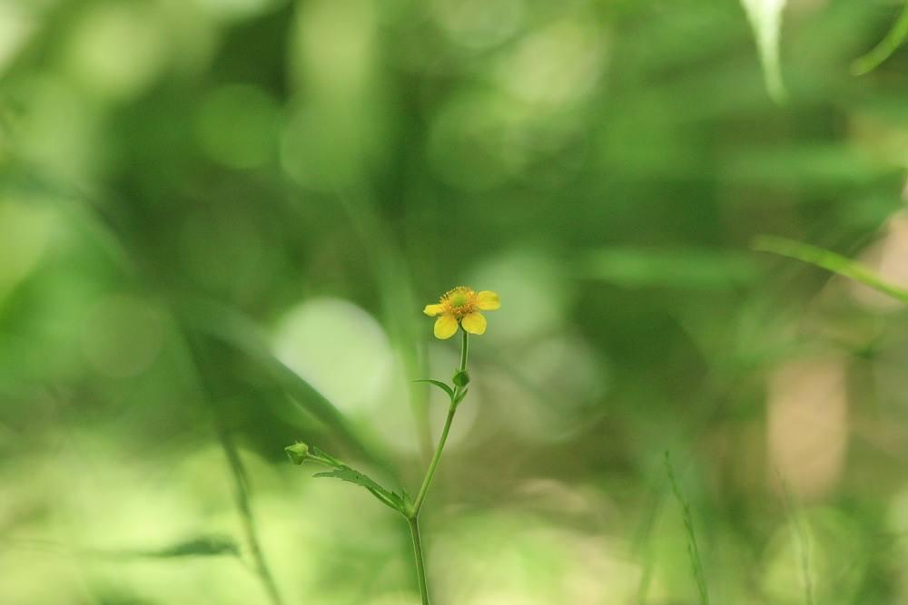 ダイコンソウ 2010.07.16