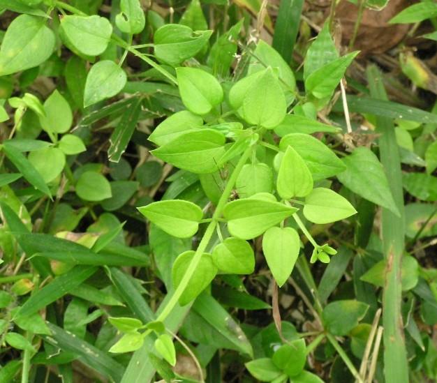 アカネの葉