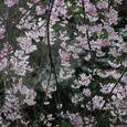 サクラ 枝垂れ櫻とヤマガラ