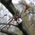 サクラ(ホシザクラ)・・・新種の桜です。
