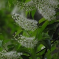 ウワミズザクラ(上溝桜、Padus grayana)
