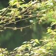 コウゾ(別名 ヒメコウゾ)花粉がモワッ