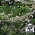 エゴノキの花 満開♪ 2009.05.19