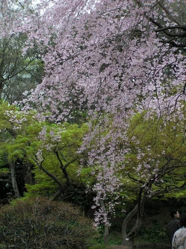 サクラ 枝垂桜
