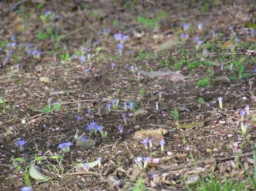 フデリンドウの群落