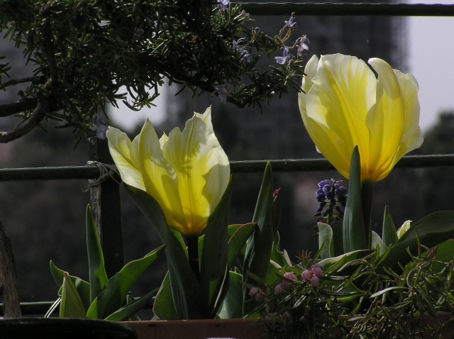 大きな花のチューリップ