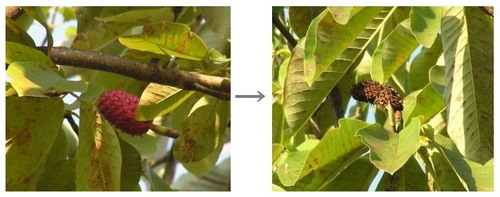 ほうの木の実・種 2007.10.04