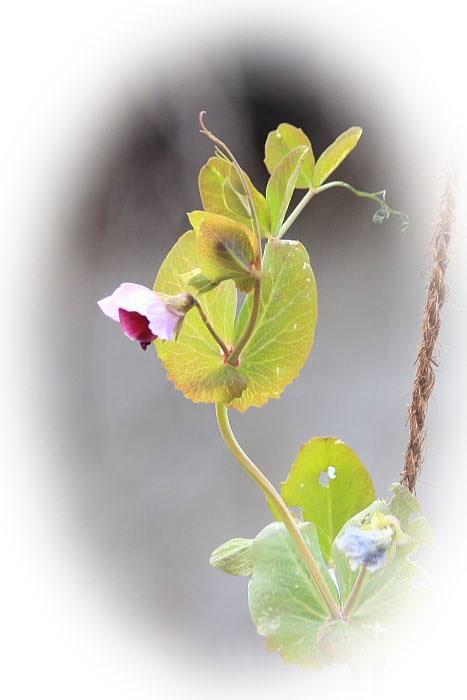 ツタンカーメンの豆 の花(エンドウ) 2009.01