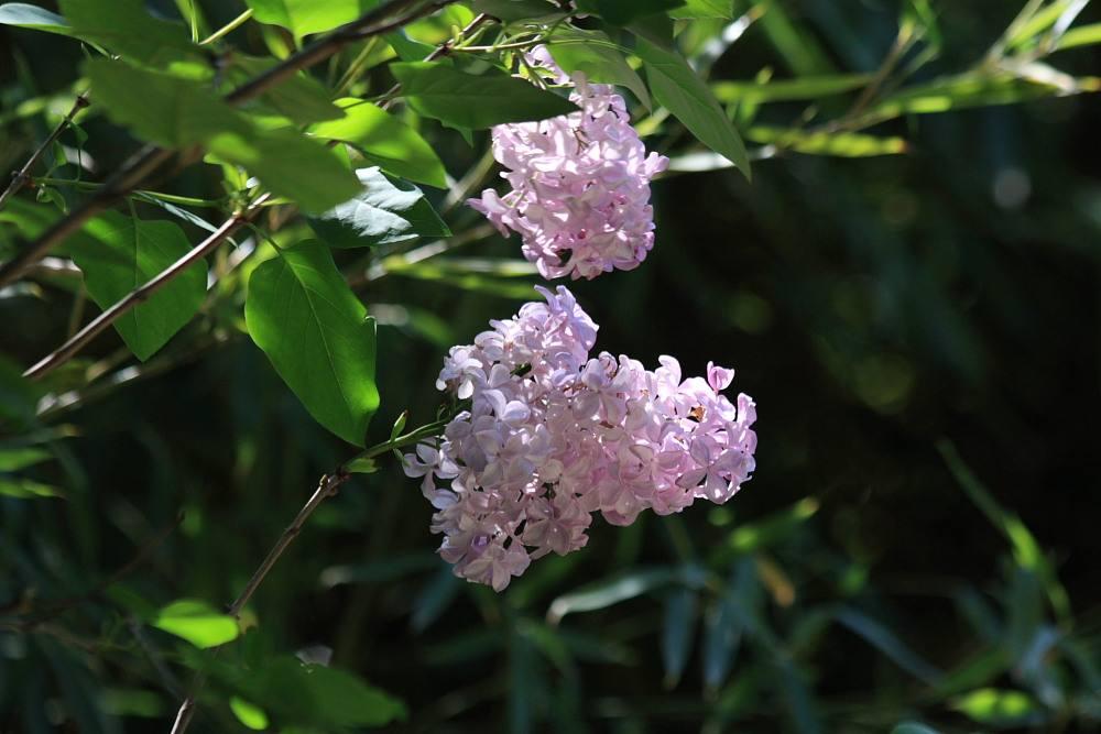ライラック(リラの花)2009.05.02
