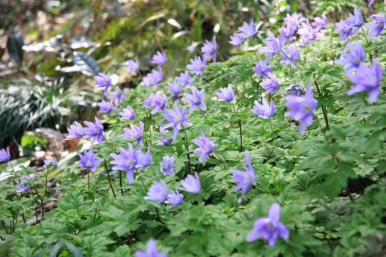 キクザキイチゲ 青花 w750 2010.03.18