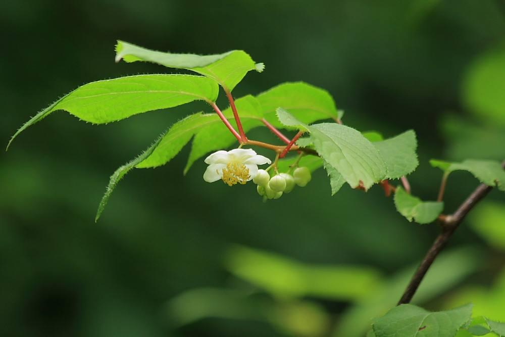 マタタビ 花と葉 2010.06.24