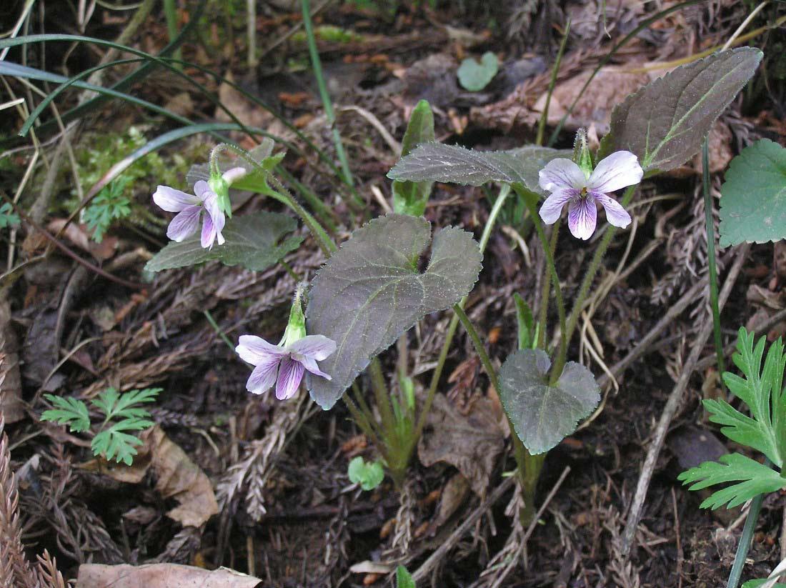 タカオスミレ 他にスミレ7種 201104