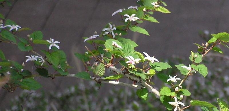 ニガイチゴ 花は4月に