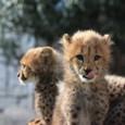 20091228_cheetah