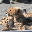 20100129_cheetah_w900