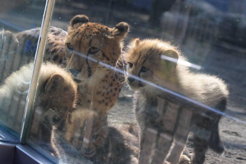 20091201_cheetah23w850