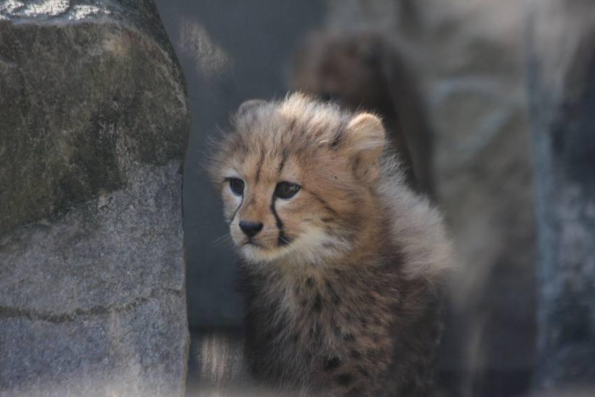20091201_cheetah4w850