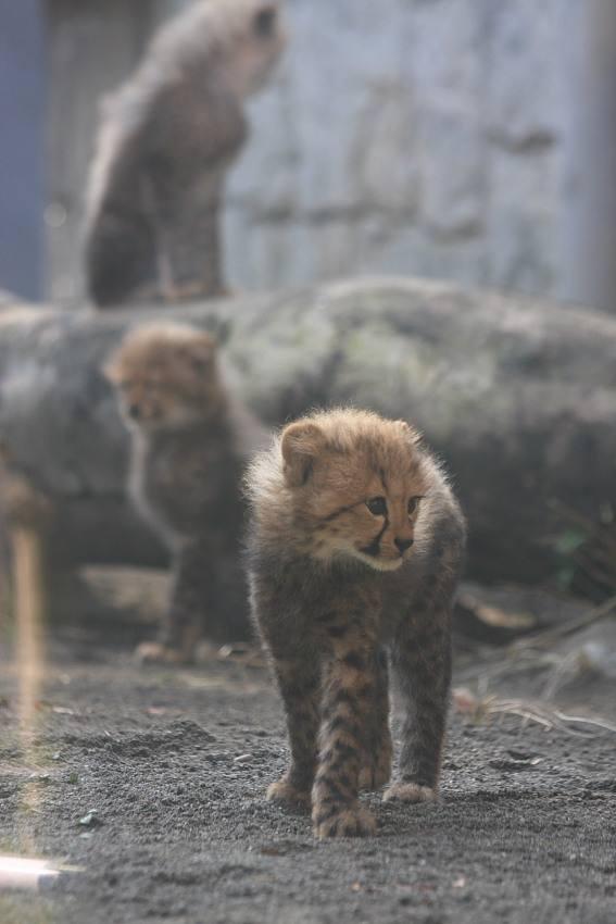 20091201_cheetah8w567