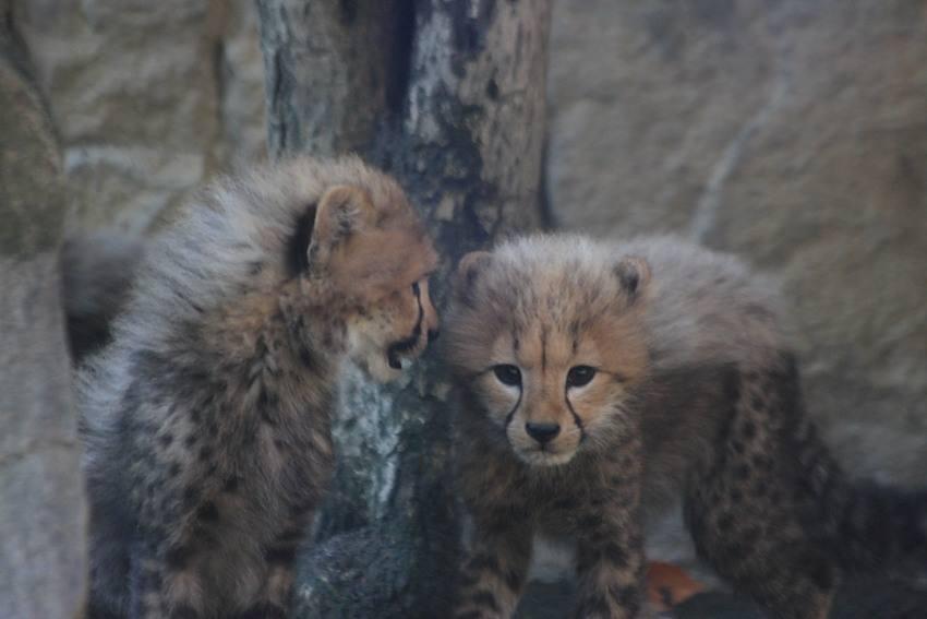 20091201_cheetah9w850