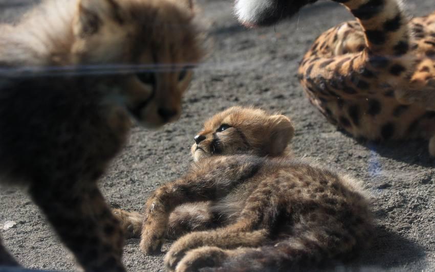 20091201_cheetah_w850