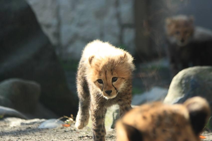 20091201_cheetah_w850_1