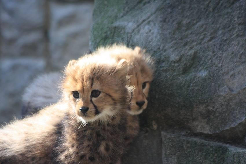 20091201_cheetah_w850_3