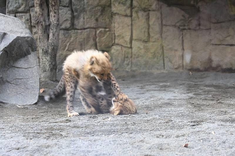 20091228_cheetah_2