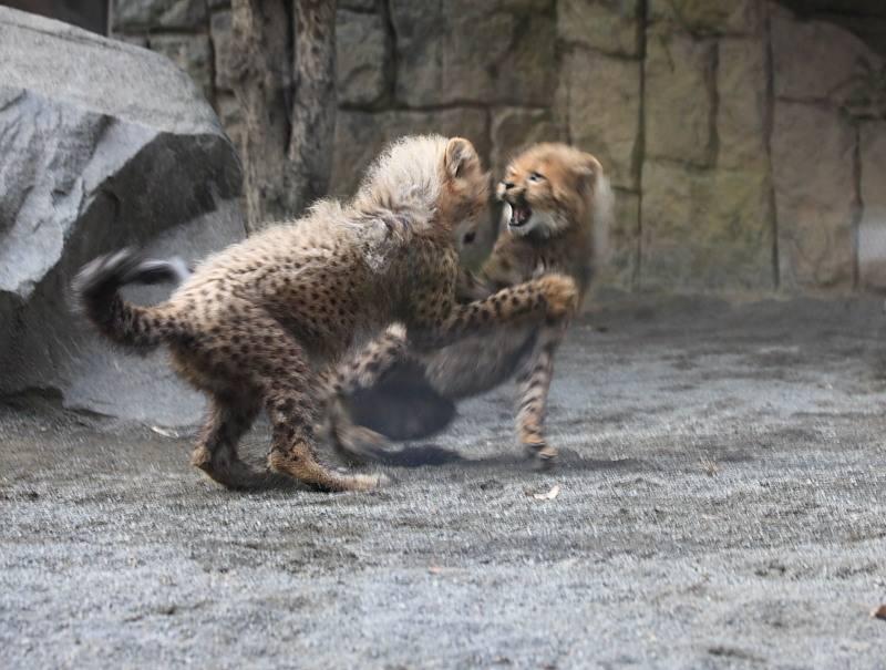 20091228_cheetah_4
